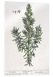 Acrylglas  Rosmarinus Officinalis, from 'A Curious Herbal', 1782 - Elizabeth Blackwell