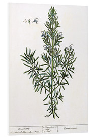 Elizabeth Blackwell - Rosmarinus Officinalis, from 'A Curious Herbal', 1782