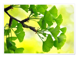 Poster Ginkgo