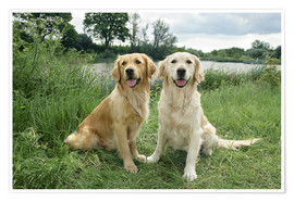 Poster  Golden Retriever - Greg Cuddiford