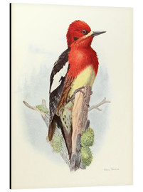 Alubild  Red brstd Sapsucker - Allan Brooks