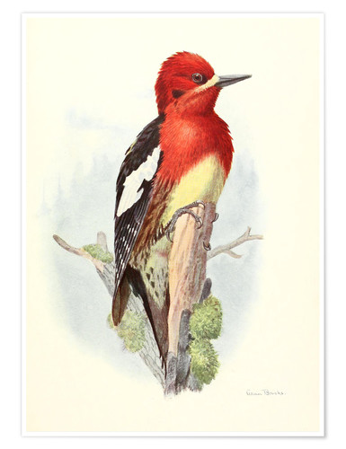 Poster Red brstd Sapsucker