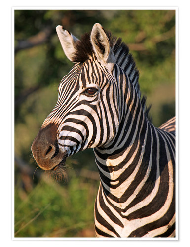 Poster Zebra in Africa, wildlife