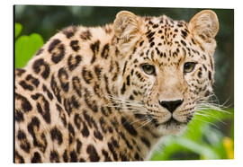 Alubild  Seltener Amurleopard - Power and Syred