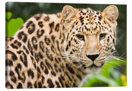 Leinwandbild  Seltener Amurleopard - Power and Syred