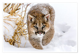 Premium-Poster  Sneaky Cougar - Mike Centioli