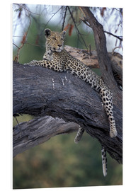 Forex  Botswana, Moremi Game Reserve, Adult Female Leopard (Panthera pardus) rests on tree limb near Khwai  - Paul Souders