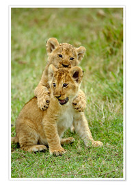 Premium-Poster Pair of lion cubs playing, Masai Mara Game Reserve, Kenya