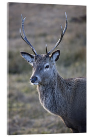 Acrylglasbild  Red deer stag, Rannoch Moor, near Fort William, Highland, Scotland, United Kingdom, Europe - Lee Frost