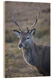 Holzbild  Red deer stag, Rannoch Moor, near Fort William, Highland, Scotland, United Kingdom, Europe - Lee Frost