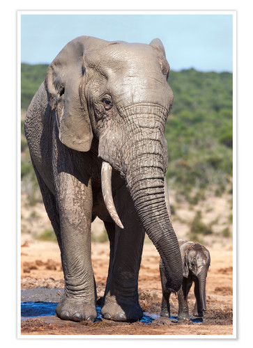 Premium-Poster African elephants (Loxodonta africana) adult and baby, Addo National Park, Eastern Cape, South Afric