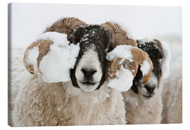 Leinwandbild  Northumberland blackface sheep in snow, Tarset, Hexham, Northumberland, UK - Ann & Steve Toon