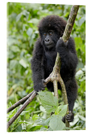 Acrylglasbild  Infant mountain gorilla (Gorilla gorilla beringei) from the Kwitonda group climbing a vine, Volcanoe - James Hager