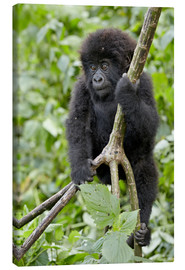 Leinwandbild  Infant mountain gorilla (Gorilla gorilla beringei) from the Kwitonda group climbing a vine, Volcanoe - James Hager