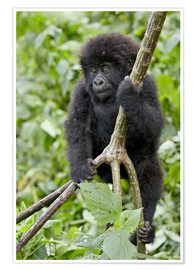 Poster  Infant mountain gorilla (Gorilla gorilla beringei) from the Kwitonda group climbing a vine, Volcanoe - James Hager
