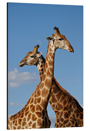 Alu-Dibond  Two male Cape giraffe (Giraffa camelopardalis giraffa), Imfolozi Game Reserve, South Africa, Africa - James Hager