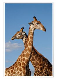 Premium-Poster  Two male Cape giraffe (Giraffa camelopardalis giraffa), Imfolozi Game Reserve, South Africa, Africa - James Hager