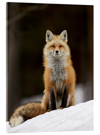 Acrylglasbild  Red Fox (Vulpes vulpes) (Vulpes fulva) in the snow, Grand Teton National Park, Wyoming, United State - James Hager