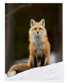 Premium-Poster  Red Fox (Vulpes vulpes) (Vulpes fulva) in the snow, Grand Teton National Park, Wyoming, United State - James Hager