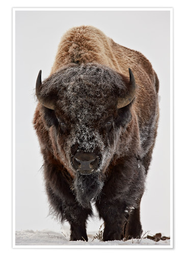 Premium-Poster Bison im Winter