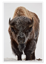 Poster  Bison im Winter - James Hager