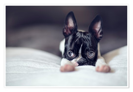 Premium-Poster Boston Terrier Welpe