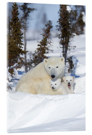 Acrylglas  Polar bear (Ursus maritimus) and cubs, Wapusk National Park, Churchill, Hudson Bay, Manitoba, Canada - David Jenkins
