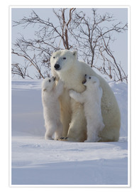 Premium-Poster Polar bear (Ursus maritimus) and cubs, Wapusk National Park, Churchill, Hudson Bay, Manitoba, Canada