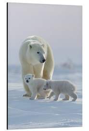 Alubild  Polar bear (Ursus maritimus) and cubs, Wapusk National Park, Churchill, Hudson Bay, Manitoba, Canada - David Jenkins