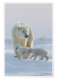 Premium-Poster  Polar bear (Ursus maritimus) and cubs, Wapusk National Park, Churchill, Hudson Bay, Manitoba, Canada - David Jenkins