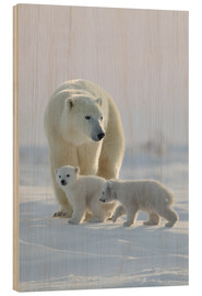 Holzbild  Polar bear (Ursus maritimus) and cubs, Wapusk National Park, Churchill, Hudson Bay, Manitoba, Canada - David Jenkins