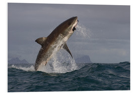 Hartschaumbild  Great white shark (Carcharodon carcharias), Seal Island, False Bay, Simonstown, Western Cape, South - David Jenkins