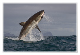 Premium-Poster  Great white shark (Carcharodon carcharias), Seal Island, False Bay, Simonstown, Western Cape, South - David Jenkins
