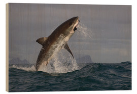 Holzbild  Great white shark (Carcharodon carcharias), Seal Island, False Bay, Simonstown, Western Cape, South - David Jenkins