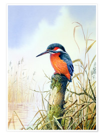 Poster  Kingfisher - Carl Donner