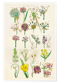Premium-Poster  Wildblumen - Sowerby Collection