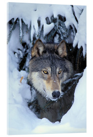 Acrylglasbild  Grauwolf im Winter - Kitchin & Hurst