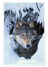 Premium-Poster  Grauwolf im Winter - Kitchin & Hurst