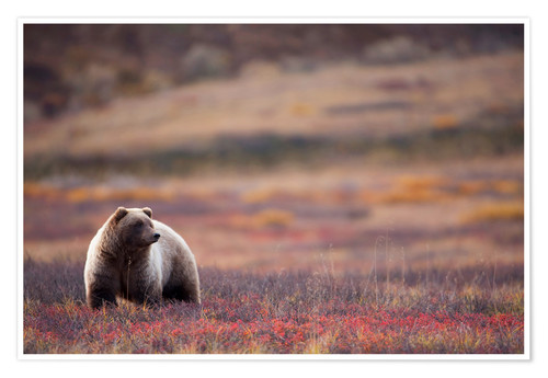 Premium-Poster Grizzly in der Tundra