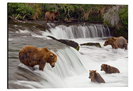 Alubild  Grizzly im Katmai Nationalpark - Chris Miller