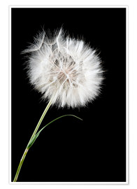 Poster the big white dandelion