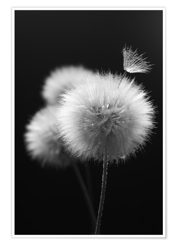 Premium-Poster Fluffy dandelions close-up