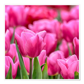 Poster Tulpen in pink
