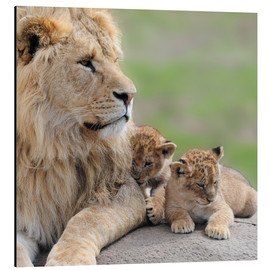 Alubild  Young lions