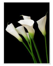 Poster  Calla Lilien
