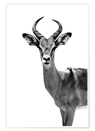 Poster Safari Profil Collection - Antelope White Edition