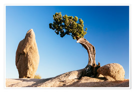 Premium-Poster Der Baum und der Rock, Joshua Tree Nationalpark, Kalifornien, USA