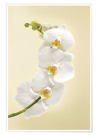 Poster  Weiße Orchidee
