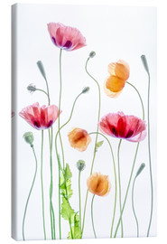 Leinwandbild  Poppy Tanz - Mandy Disher