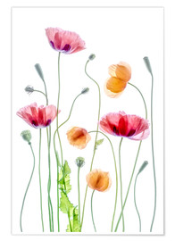 Premium-Poster  Poppy Tanz - Mandy Disher